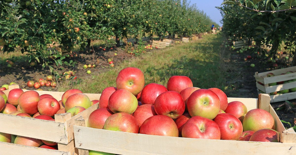 Could Apples Treated with Fungicides be Healthier than Organic Ones?